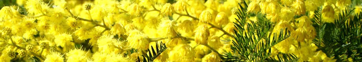 Acacia or Mimosa