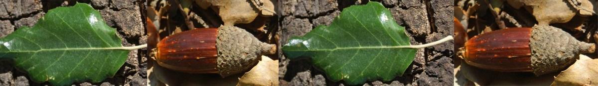 Cork Oak-Quercus suber