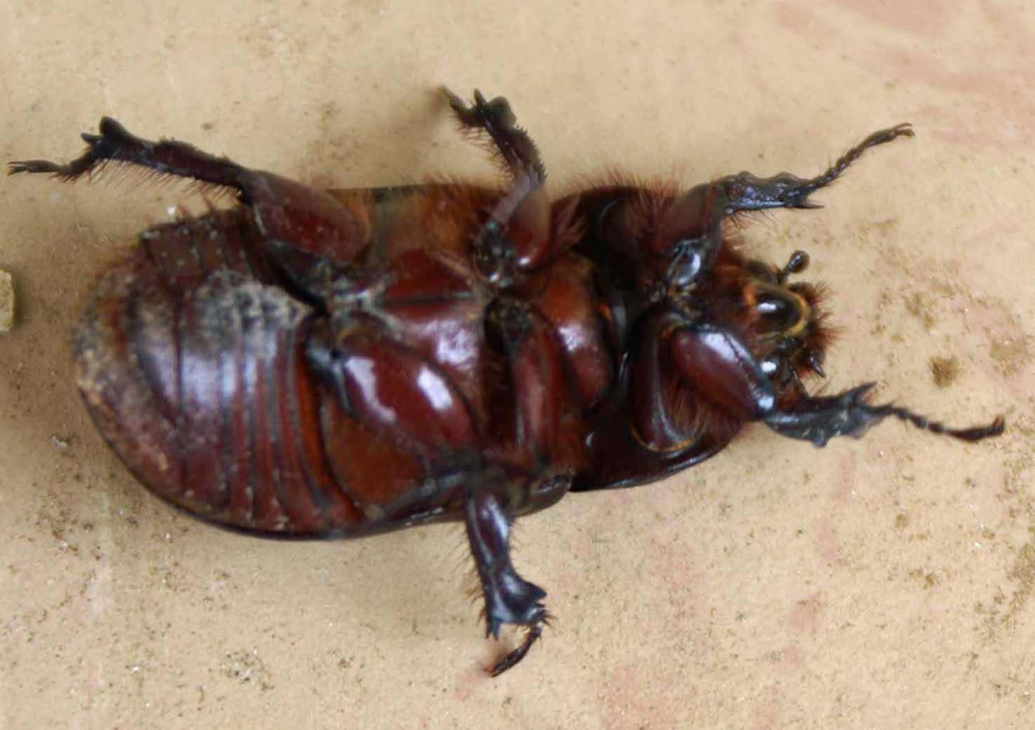 rhinoceros beetle nightingale trails