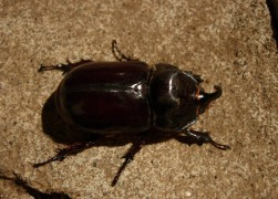 Rhinosceros Beetle- Oryctytes nasicornis attracted to lights