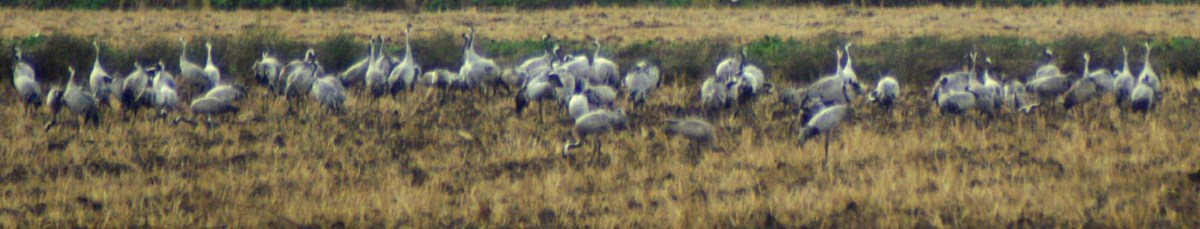Common Cranes at La Janda