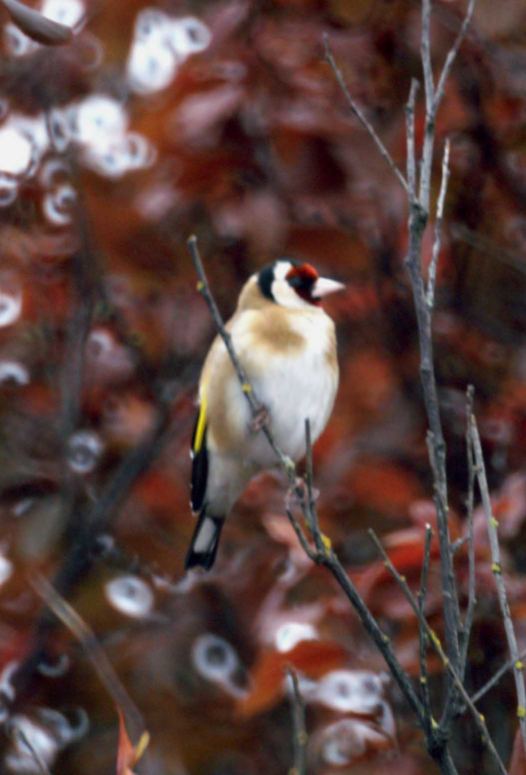 goldfinch everyday nature trails