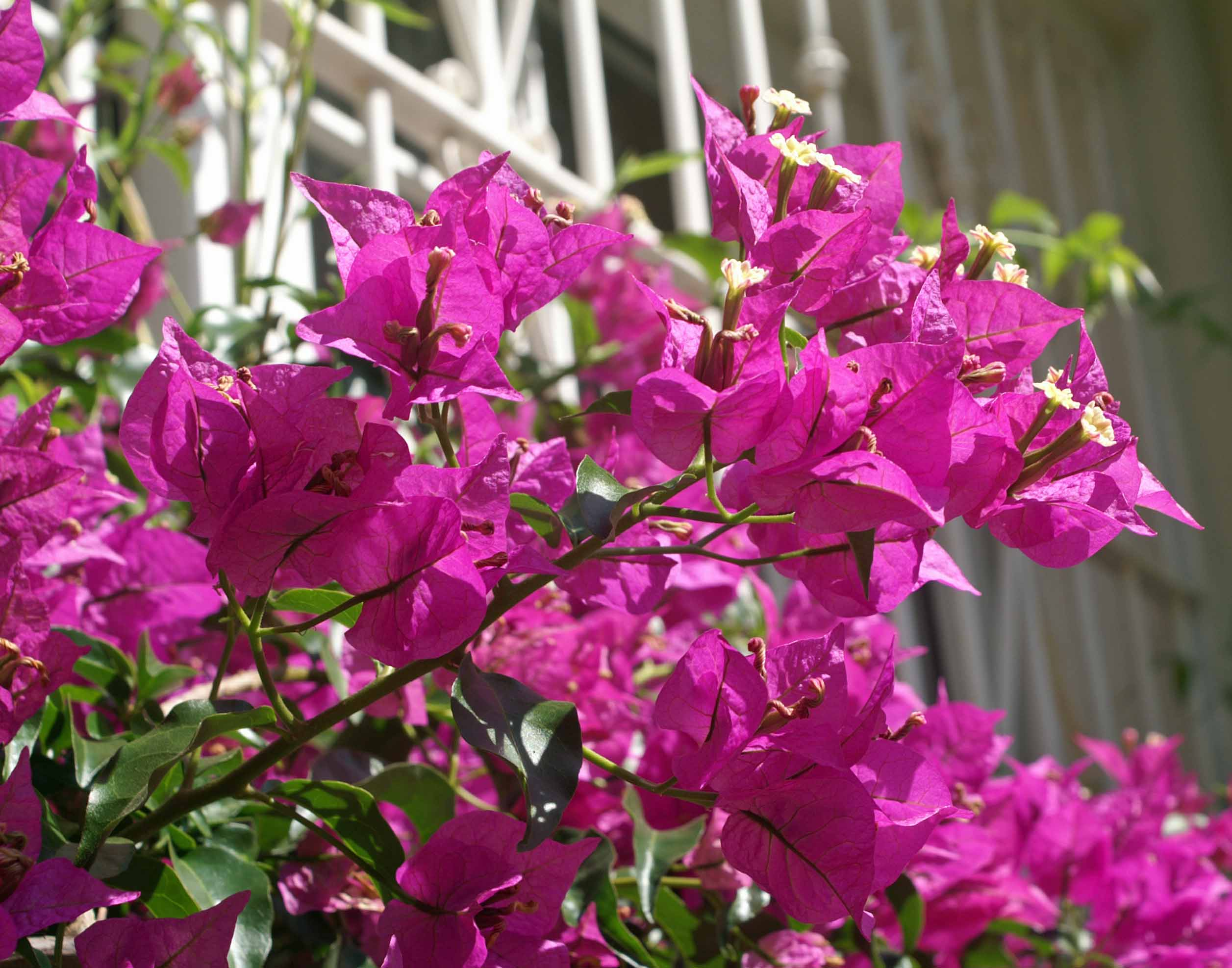 Flowering shrubs nightingale trails 19611 bougainvillea mightylinksfo