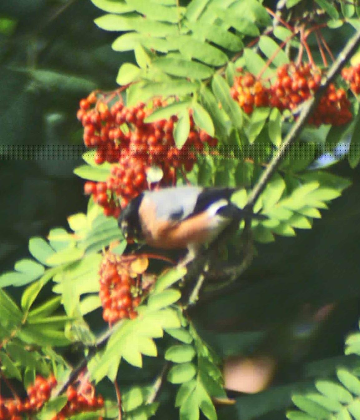 Meeting In My Bedroom Lyrics Bohemian Waxwings Eating Rowan Berries Bohemian Waxwings