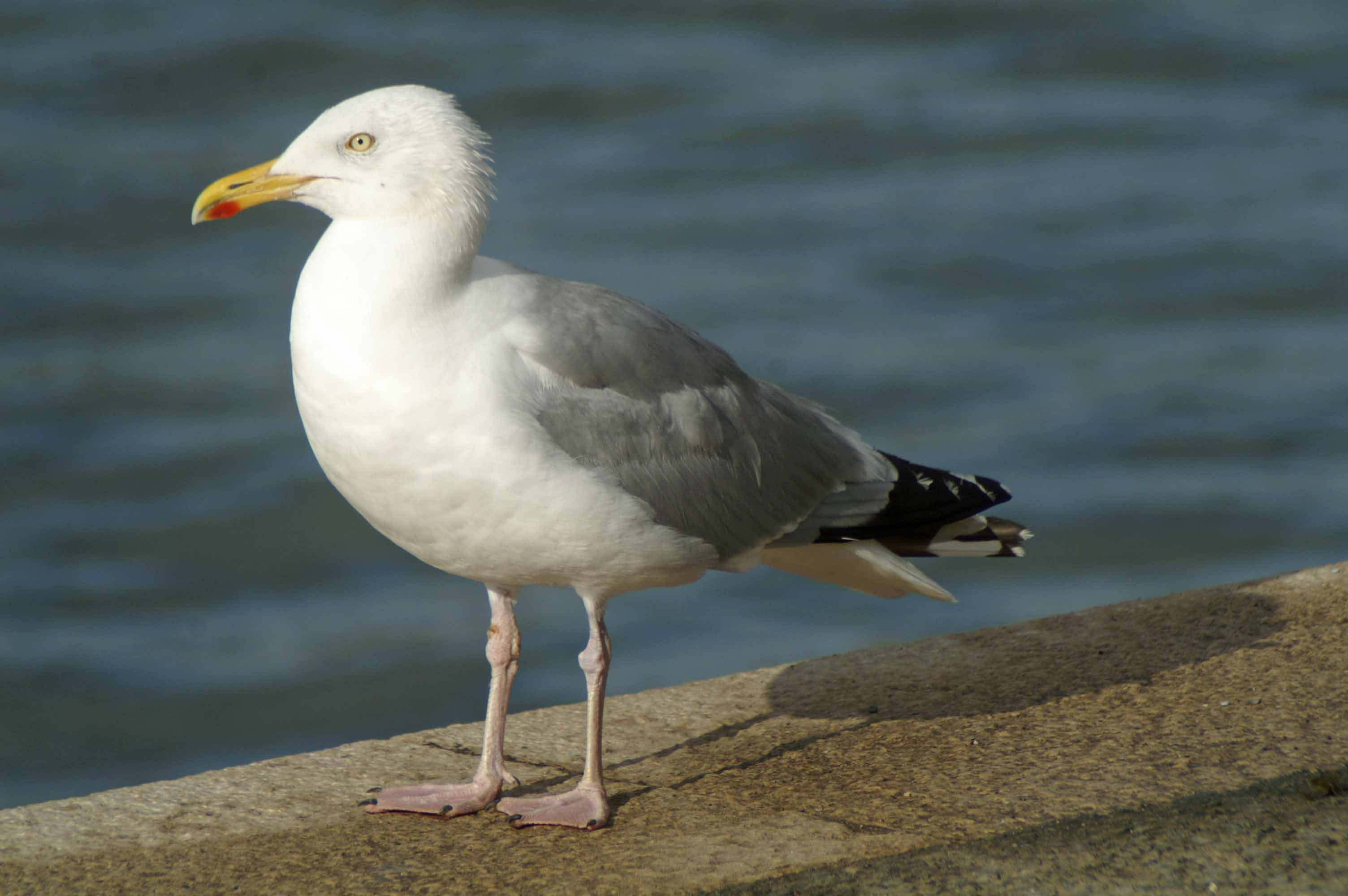 herring gull juvenile | everyday nature trails