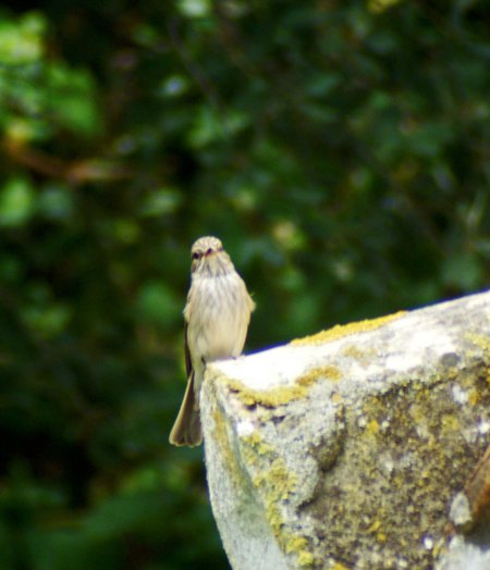 One of the adults perched  on the corner of the roof beneath the cork oaks watching for flies