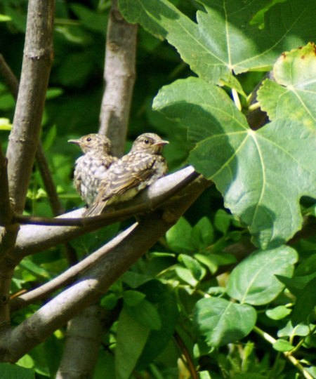 060616TGSPN-Spotted Flycatcher young-Sotogrande, Spain
