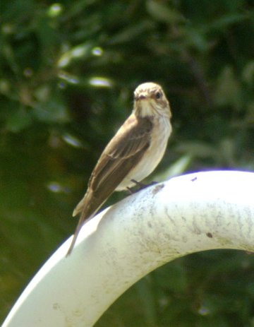 Watching for prey from the handrail of the swimming pool