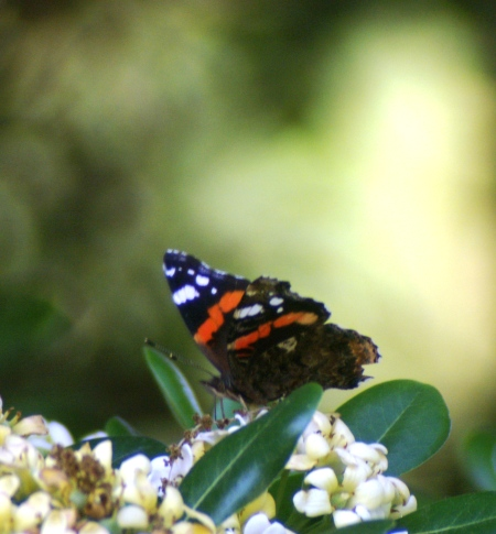 The Red Admiral before it was snatched away by the Spotted Flycatcher