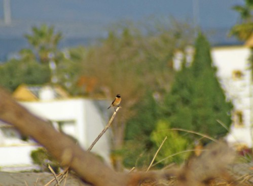 Male Stonechat perched on debris on the beach