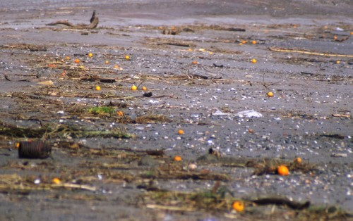 The beach is always strewn with oranges after a storm