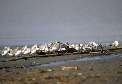 At the Estuary, a Grey Plover, Turnstone and a small flock of Sanderling resting behind debris on the water's edge