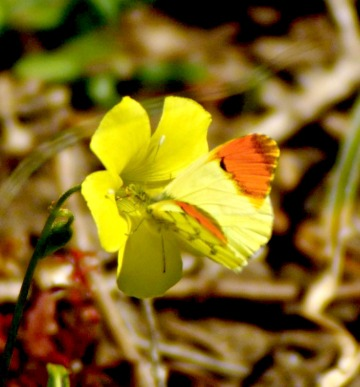 Moroccan Orange-tip on Bermuda buttercup flower