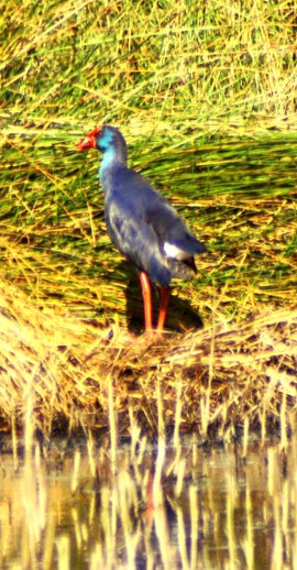 A gorgeously glossy Purple Gallinule