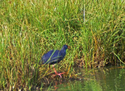 Purple Swamp Hen squawking whilst stalking along the edge of the lagoon