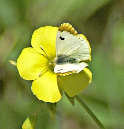 Moroccan Orange Tip (f)-nectaring on Bermuda buttercup flower