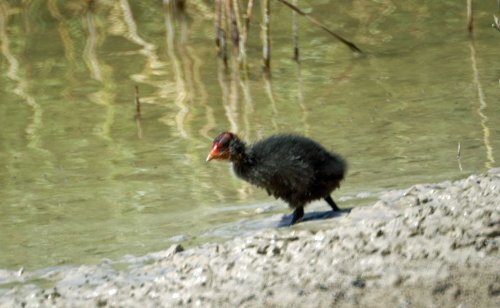 A Purple Swamp Hen chick is not particularly beautiful. I photographed this one at Laguna Sidonia Medina