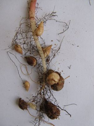 Oxalis pes-caprae - roots & bulbs
