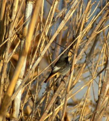 Black Redstart (m)