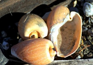 Cymbium shells