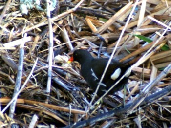 A moorhen looking in peak condition