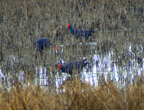 Swamp hens out feeding in the flooded reed bed on the edge of the lagoon