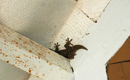 Another large gecko, but a much darker one, trying to hide from me