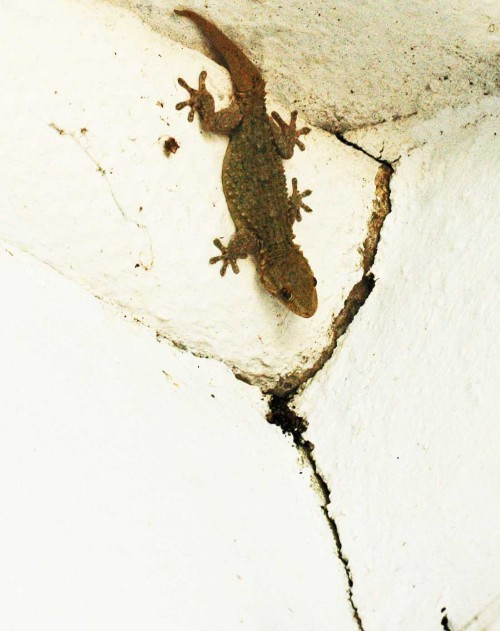 A large light-coloured Gecko that lives in the outhouse