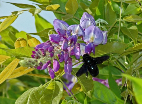 Violet Carpenter Bee visiting wisteria