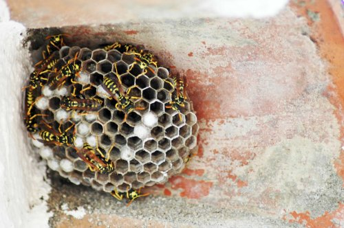Beautifully crafted nest of a paper wasp colony