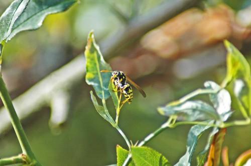A hunting polistes wasp
