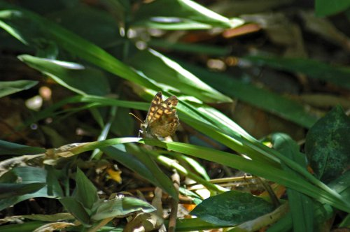 A Speckled Wood butterfly in the shade under the citrus trees