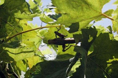 Egyptian Grasshopper overhead