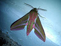 Elephant hawk-moth - Deilephila elpenor (picture from wikipaedia)