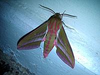 Elephant hawk-moth - Deilephila elpenor (picture from wikipaedia)