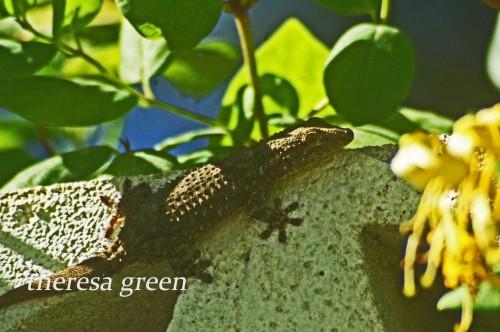 A large dark gecko on the garden wall
