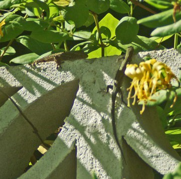 The Wall lizard hurrying past the gecko