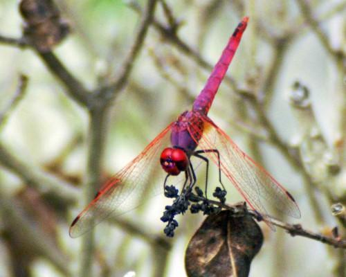 violet-dropwing-trithemis-annulata