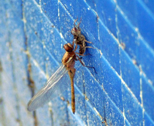 100908TGSP-Sotogrande-Emerging dragonfly on wall of pool