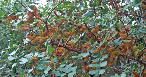 Male Carob tree in flower