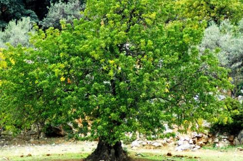 Carob tree - Gaucin, Andalucia