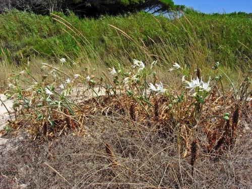 Sea Daffodils, Tarifa