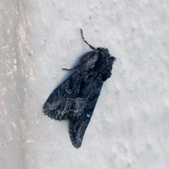 Dark Moth-Miniotype occidentalis