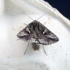 Silver Y Moth 'shivering' to warm up