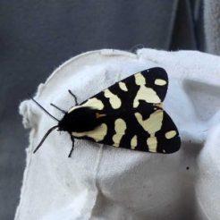 Garden Tiger Moth-Arctia caja