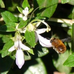 Small bee on Wall Germander
