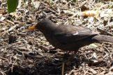170320-GIB-1439-Blackbird female