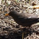 170320-GIB-1439-Blackbird female