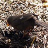 170320-GIB-1441-Blackbird female