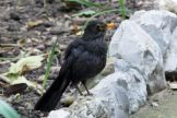 170320-GIB-1442-Blackbird female